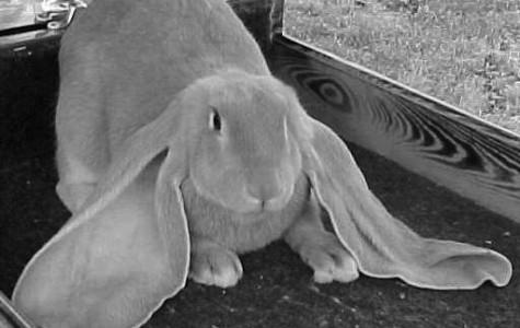 Rabbit exhibitors suffer discouragement
